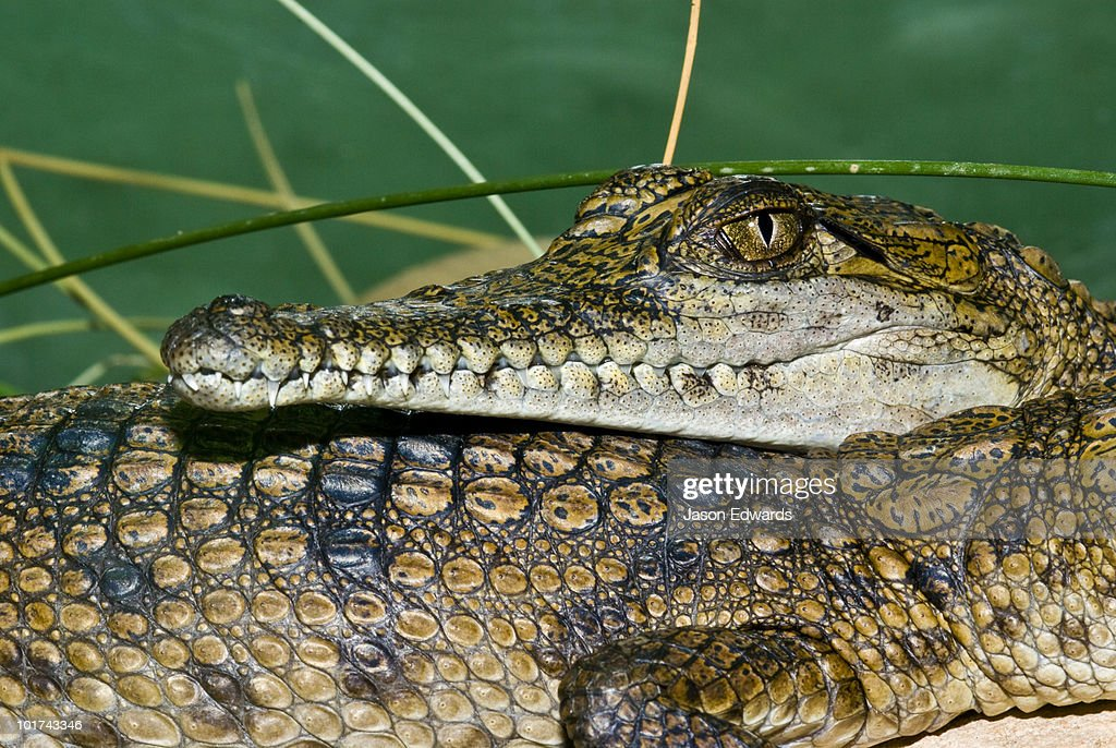 A Freshwater Crocodile rests it's scaled head on a hatchlings back.