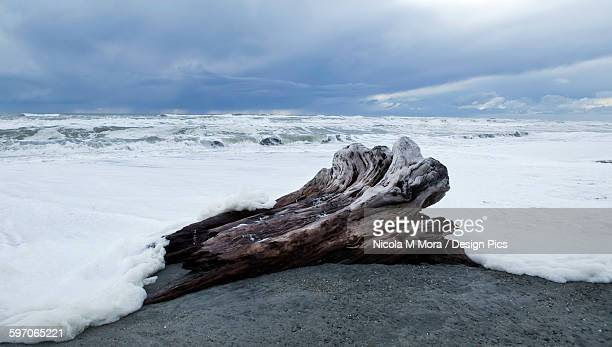 West Coast surf approches driftwood tree stump that has been washed up