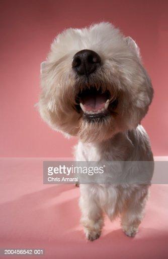 West Highland Terrier, close-up