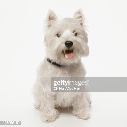 West Highland Terrier Dog Sitting on White Backgro : Stock Photo