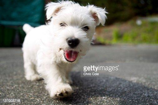 West Highland Terrier Female.