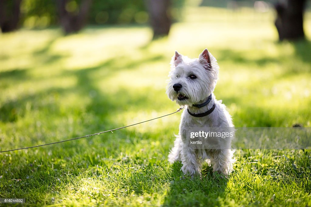 west highland terrier in the park : Stock Photo