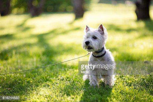 west highland terrier in the park : Foto de stock