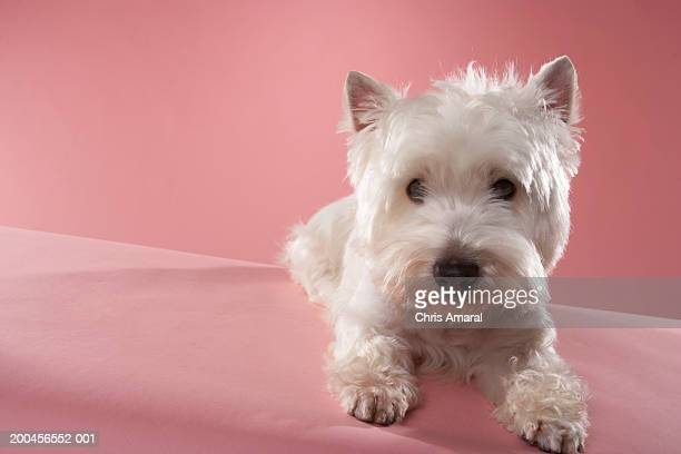 West Highland Terrier lying down