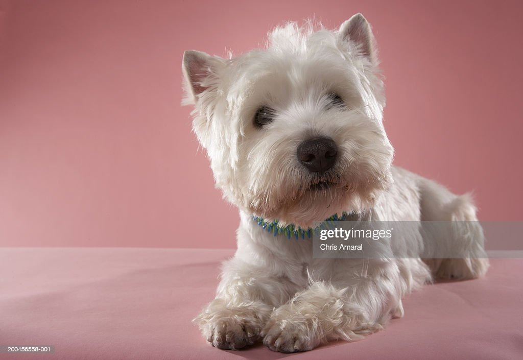 West Highland Terrier lying down : Stock Photo