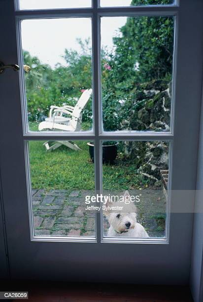 West Highland terrier outside looking through window on door