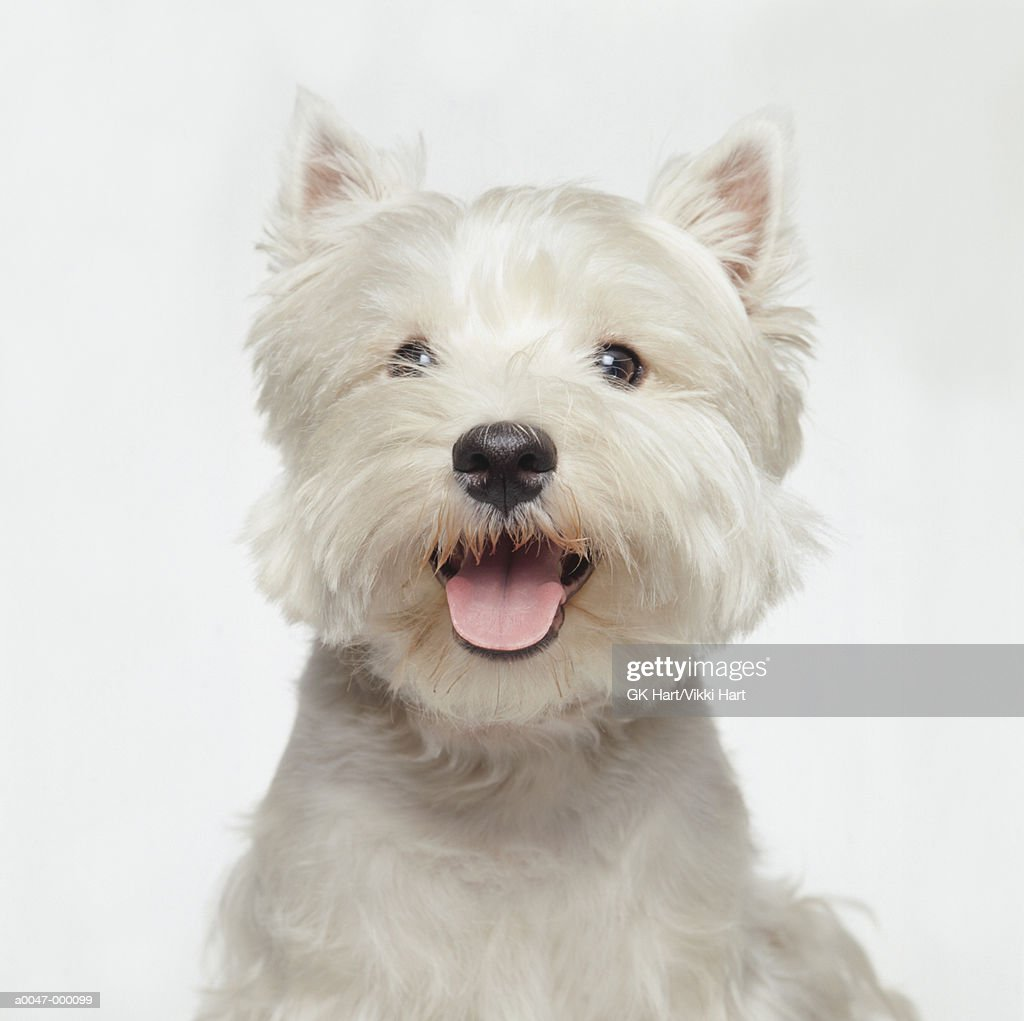 West Highland Terrier : Stock Photo