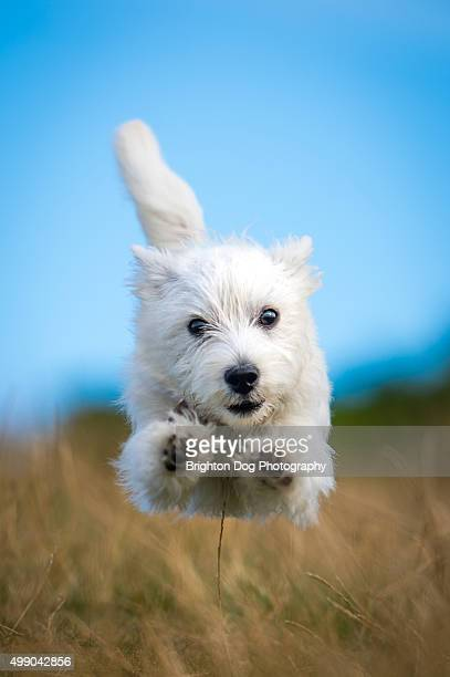A West Highland Terrier puppy running towards the camera