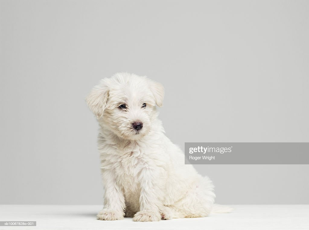 West Highland Terrier puppy sitting in studio : Stock Photo
