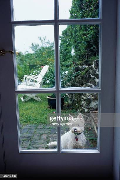 West Highland terrier seen through door