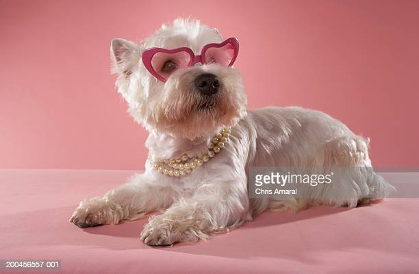 West Highland Terrier wearing necklace and glasses