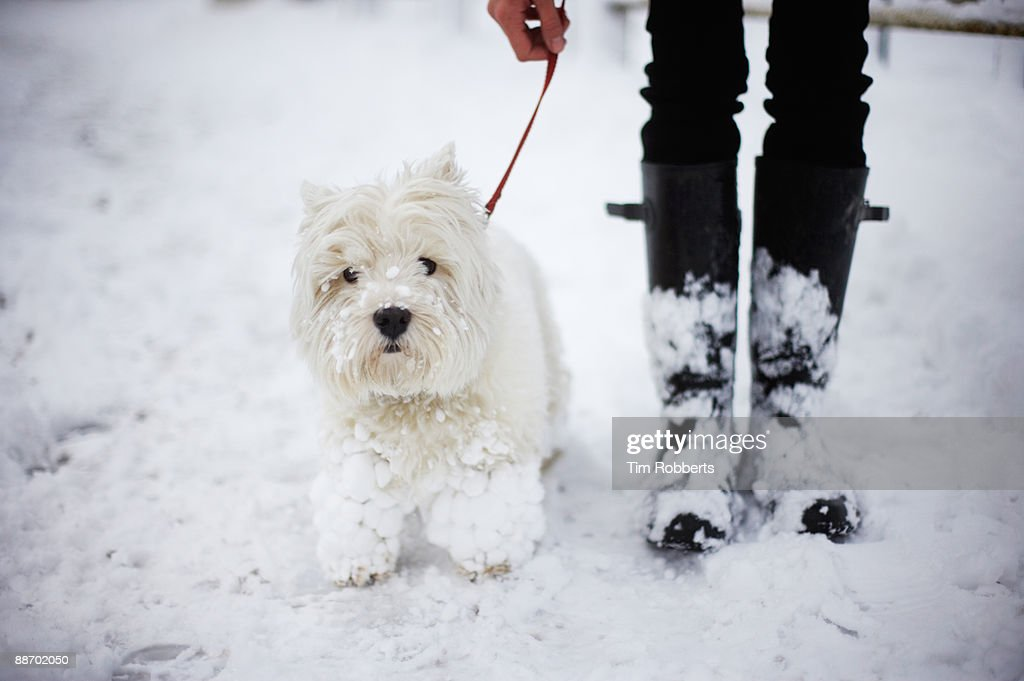 A West highland white terrier and owner in snow : Stock Photo