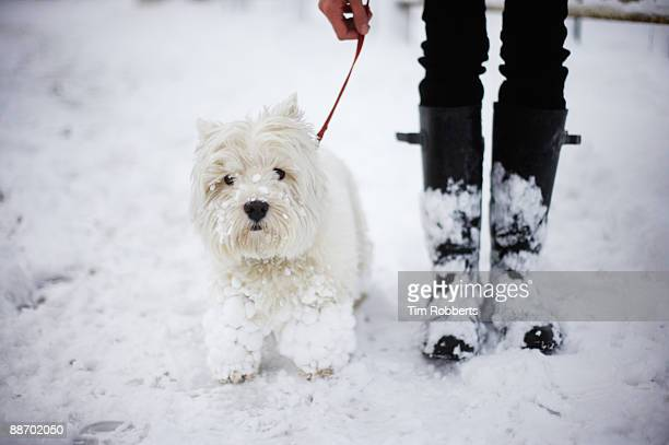A West highland white terrier and owner in snow