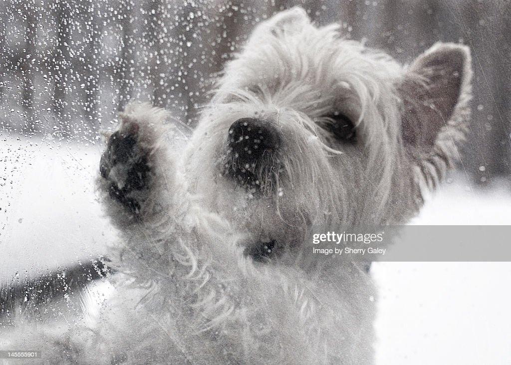 West Highland White Terrier at door in winter : Stock Photo