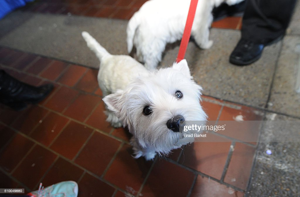 A West Highland White Terrier attends the 7th Annual AKC Meet The Breeds at Pier 92 on February 13, 2016 in New York City.