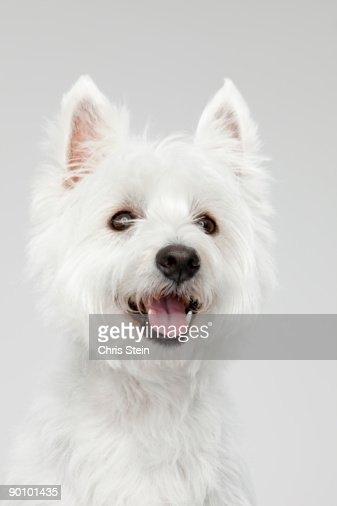 West Highland White Terrier head portrait