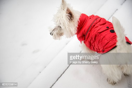 West Highland White Terrier in red down jacket : Stock Photo