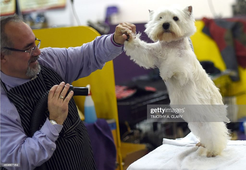 A West Highland White Terrier in the benching area at Pier 92 and 94 in New York City on the 2nd day of competition at the 139th Annual Westminster...