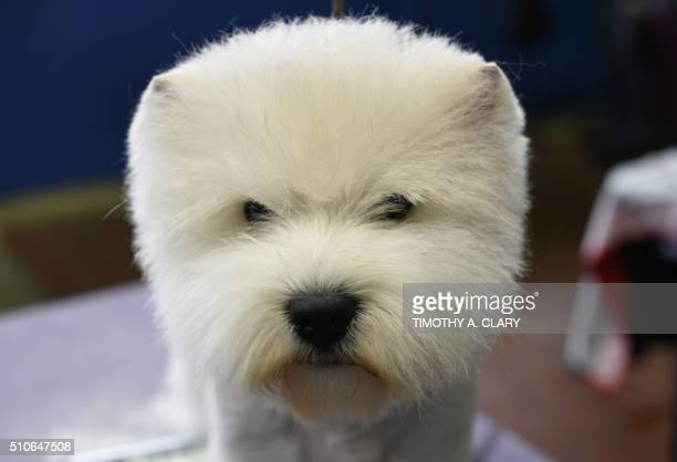 A West Highland White Terrier in the grooming area February 16 2016 in New York during Day Two of competition at the Westminster Kennel Club 140th...