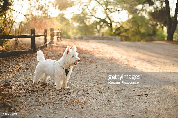 West Highland White Terrier in woods backlit