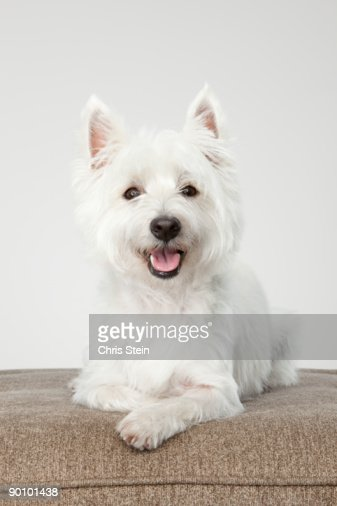 West Highland White Terrier laying down