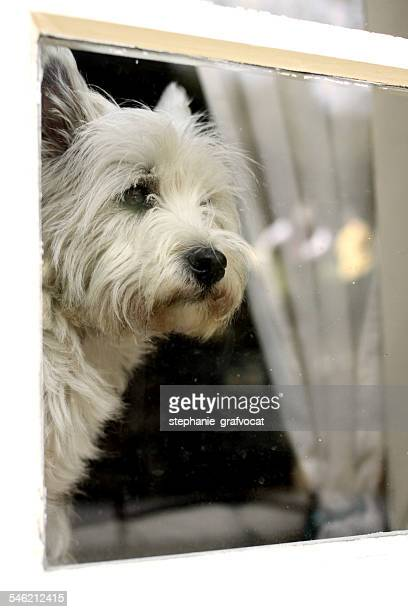 West highland white terrier looking through window