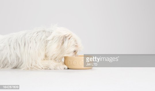west highland white terrier, mixed breed, studio