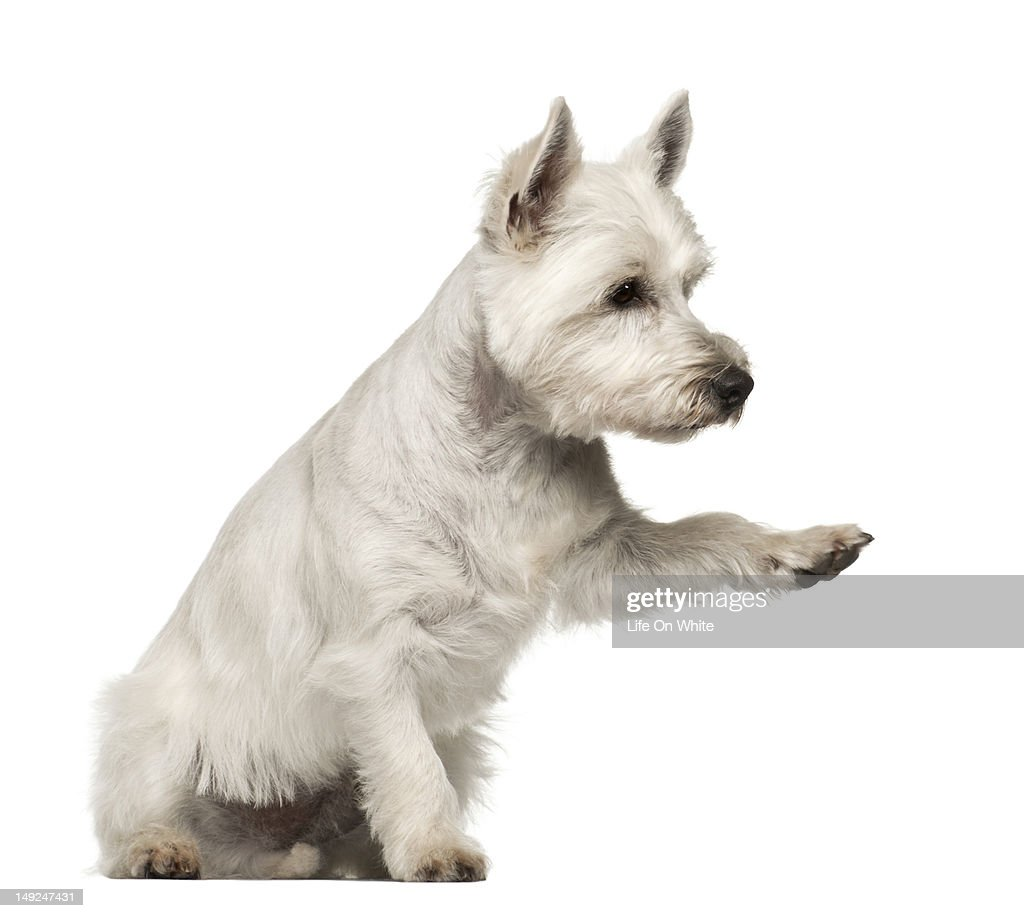 West Highland White Terrier (2 years old) : Stock Photo