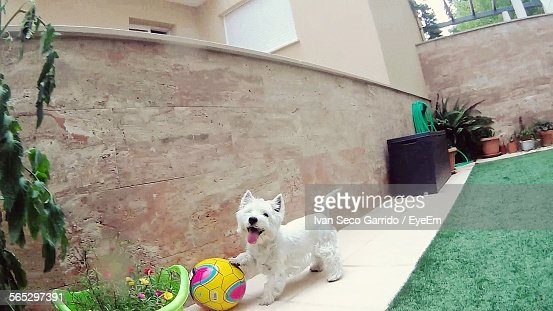 West Highland White Terrier Playing With Soccer Ball Outdoors