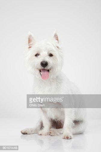 West Highland White Terrier portrait