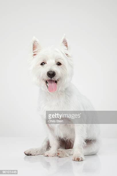 West Highland White Terrier portrait