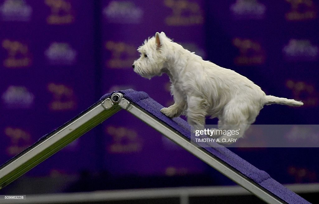 A West Highland White Terrier runs the agility course during the 3rd Annual Masters Agility Championship on February 13, 2016 in New York, at the 140th Annual Westminster Kennel Club Dog Show. Dogs entered in the agility demonstrate skills required in the challenging obstacles that they will need to negotiate. / AFP / Timothy A. CLARY