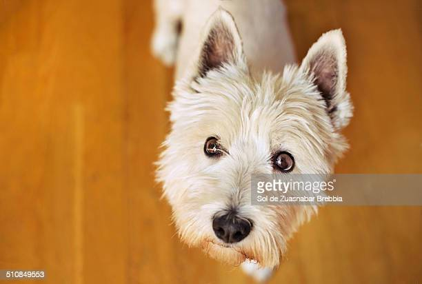 West Highland White Terrier. Sweet dog looking up