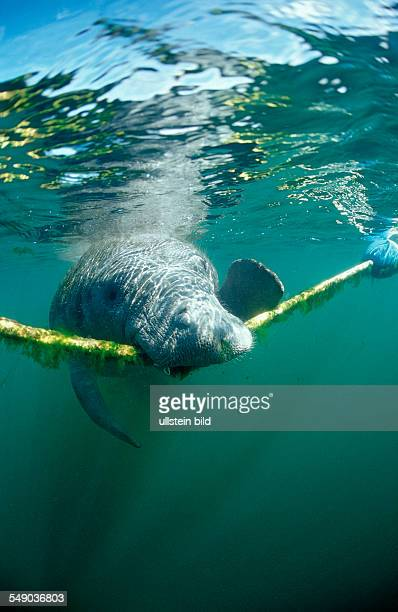 West Indian Manatee nibbles on rope Trichechus manatus latirostris USA Florida FL Crystal River