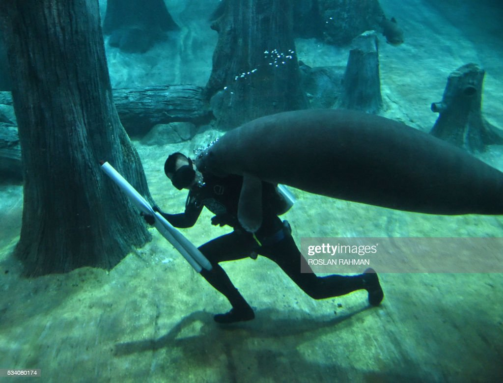 A West Indian manatee swims close to a aquarist at the River Safari theme park in Singapore on May 25, 2016. There are 14 West Indian manatees in the world's largest freshwater aquarium at the park. / AFP / ROSLAN