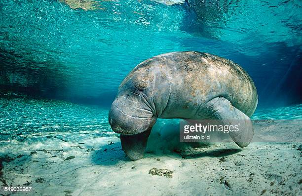 West Indian Manatee Trichechus manatus latirostris USA Florida FL Crystal River