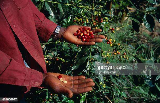 West Indies Jamaica Agriculture Cropped shot of person standing beside coffee bush holding ripe coffee beans on outstretched hands