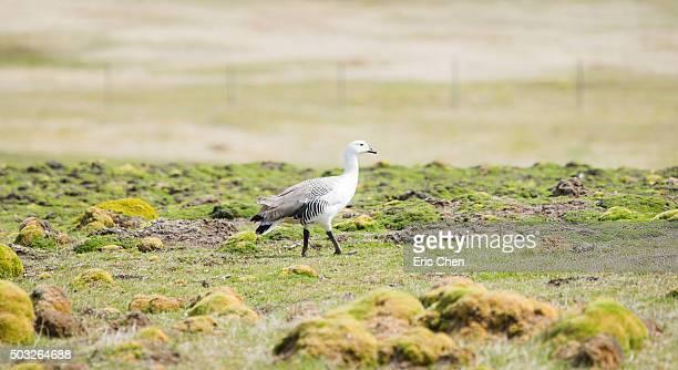 West point island Upland goose