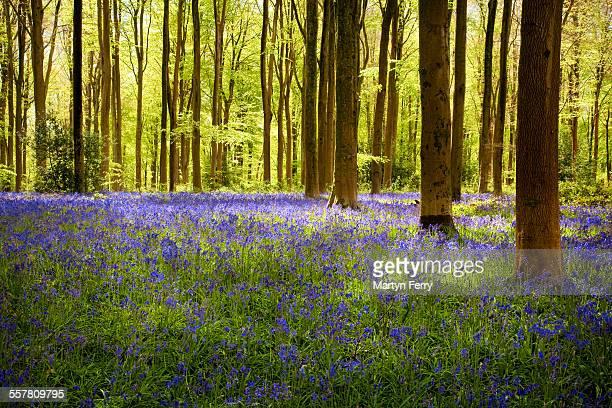 West Wood bluebells