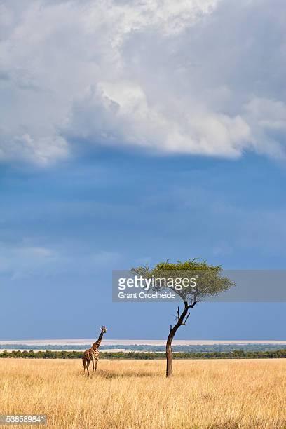 A Western African Giraffe (Giraffa camelopardalis peralta) stand next to an acacia tree in the Masai Mara, Kenya.