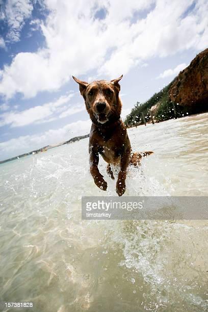 Western Australia - jumping dog