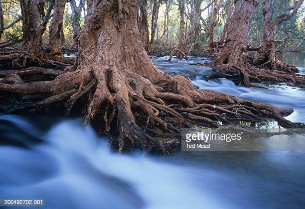 Western Australia, Melaleuca trees in stream after cyclonic rainfall