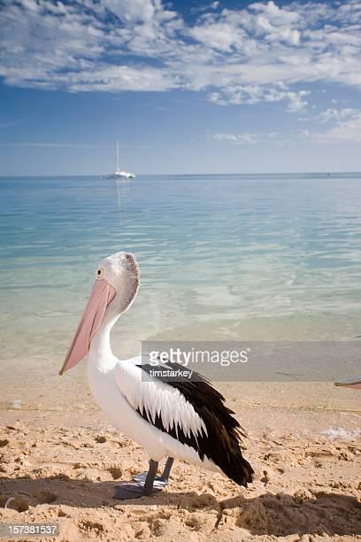 Western Australia, ein Pelikan