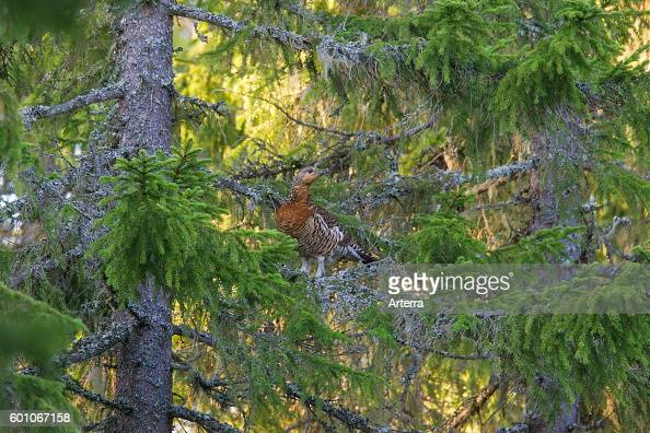 Western Capercaillie / Wood Grouse / Heather Cock hen perched in tree