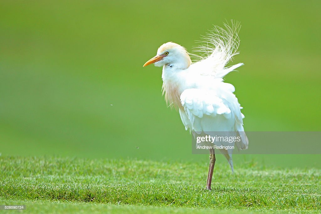 A Western Cattle Egret stalks the course during the second round of the Trophee Hassan II at Royal Golf Dar Es Salam on May 6, 2016 in Rabat, Morocco.
