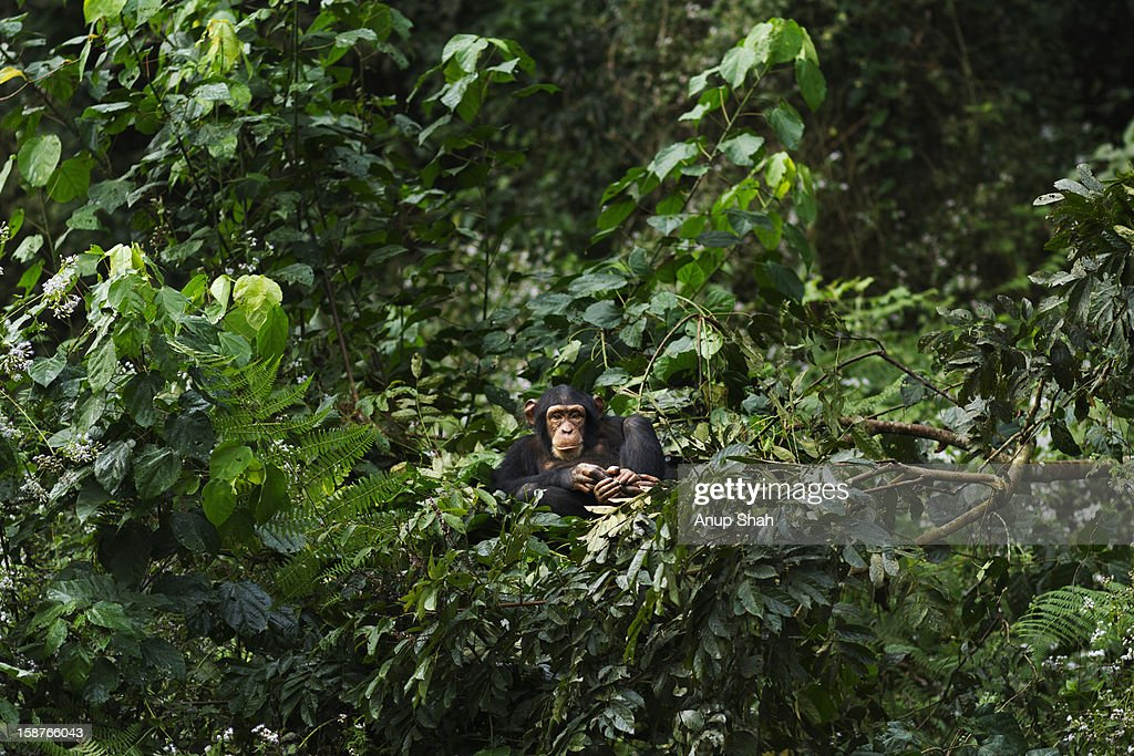 Western chimpanzee juvenile female resting in nest : Stock Photo