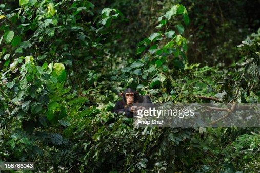 Western chimpanzee juvenile female resting in nest : Stock Photo