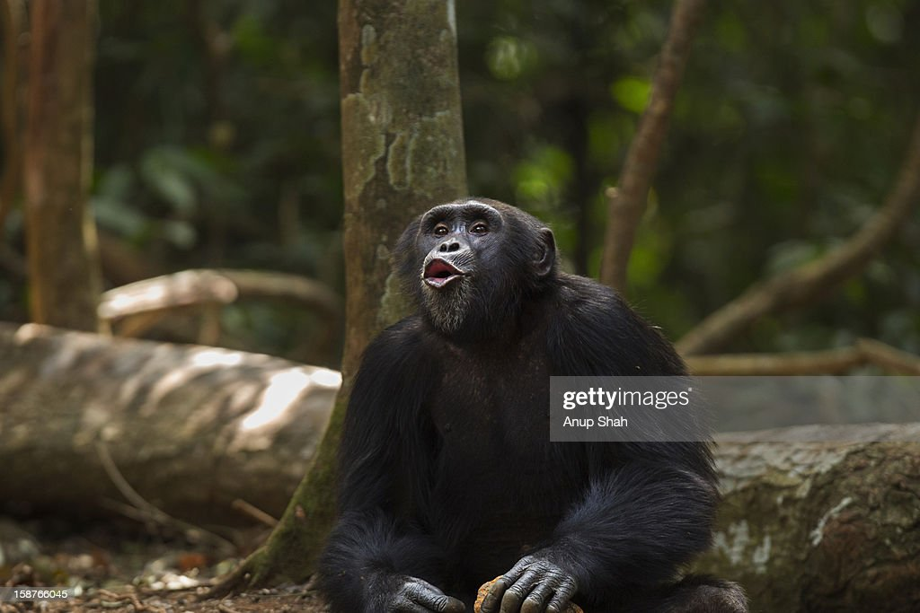 Western chimpanzee male 'Pant Hooting' : Stock Photo