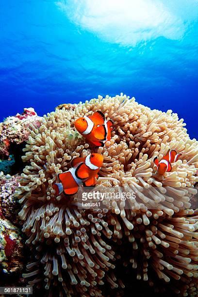 Western clown anemonefish