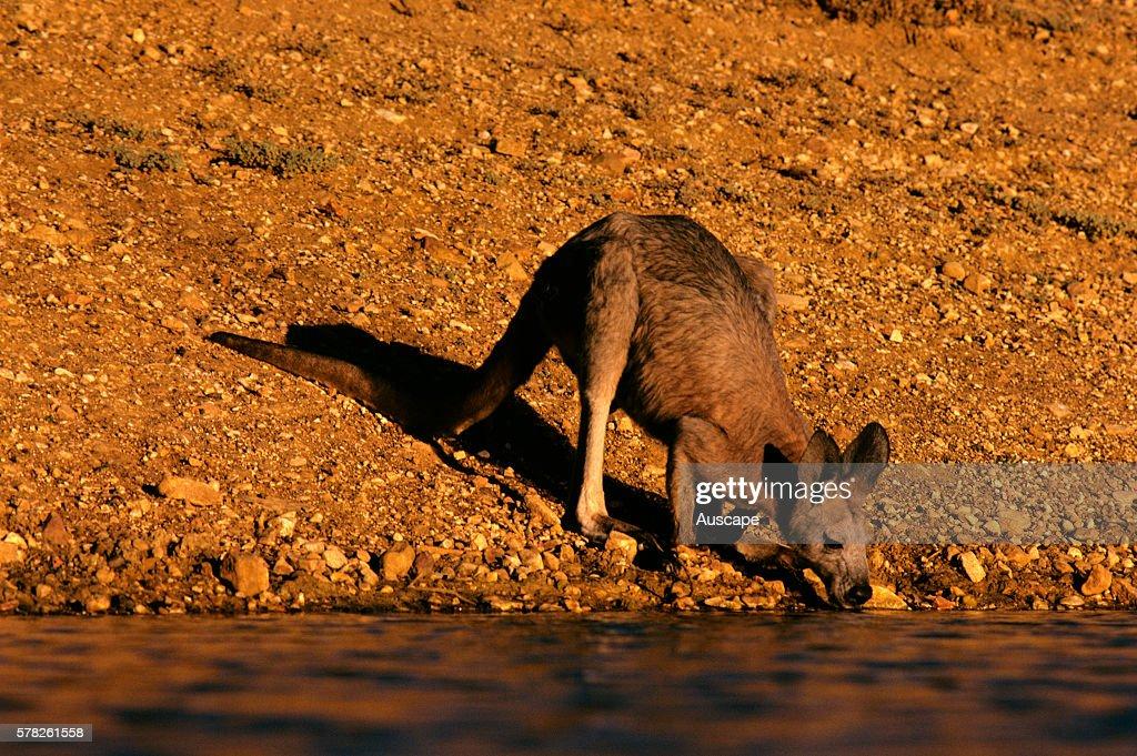 Western grey kangaroo Macropus fuliginosus drinking Northwestern New South Wales Australia